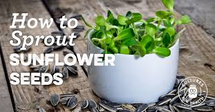 How To <b>Sprout Sunflower Seeds</b>