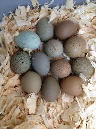 12 All Colors Button Quail Hatching Eggs Button Quail