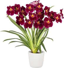 Buy From 100 Varieties Of Orchid Plants Online All India