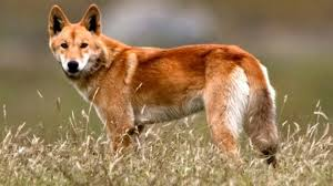 Dangerous - How They Are News Bbc Dingoes