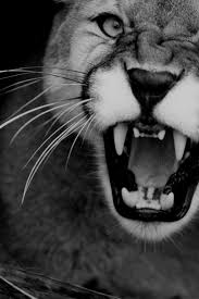 286 best Big Cats Say It With A Roar images on Pinterest