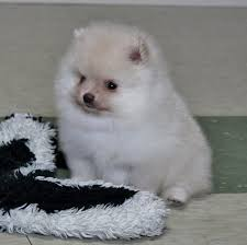 Pomeranian Weight Chart Available Pomeranians