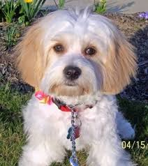Cavachon Puppy Weight Chart Cavachon Dog Breed Information And Pictures Cavalier King
