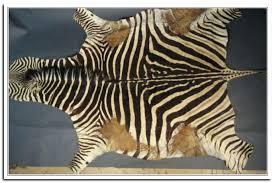 real zebra skin rug uk genuine 6 curtain image gallery x zebra skin rug