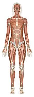 Woman Anatomy Chart Explore Human Anatomy Physiology And Genetics Innerbody