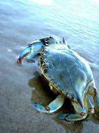Crab Size Chart Nj Pin By Bring Me That On Nj Food Sea Creatures Ocean