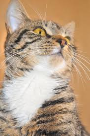 fortunately there are some home remes you can use with your cat that utilize the natural flea repelling properties of lemon juice