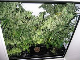 qa with jorge best strains for a grow cabinet growing within dimensions 1280 x 960