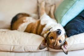 dog on your couch nothing to worry about when you follow a few simple steps to protect your furniture kenny mccartney istock thinkstock