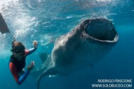 adventure sports blog adventure sports newmarket inc  swimming whale sharks