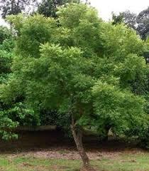 neem tree orchard sahara desert africa about neem  neem tree