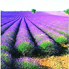 garden seed. Shop Seeds Online, Outdoor Plant Seed Purple Lavender Garden Planter Bonsai Vegetable Very Fragrant Indoor 1000 Particles