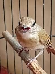 Sebenarnya, untuk suara burung ini tidaklah bagus, biasanya hanya dijadikan sebagai burung masteran berikut ini ada 2 file audio suara mp3 burung flamboyan yang bisa kalian download melalui link yang tersedia dibawah ini. 16 Anakan Burung Srdc Jantan Terbaru Burungliar