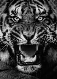 Black And Grey Tiger Tattoo Velké Kočky Divoká Zvířata A