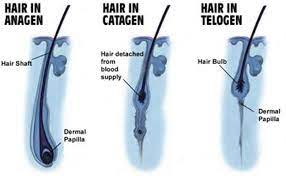 phases of hair growth memos clinic