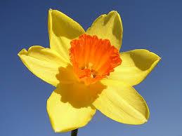daffodil2 daffodil3