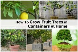 GrowfruittreesincontainersjpgWhen Do You Plant Fruit Trees
