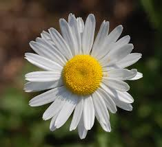 Prästkrage (blomma) – Wikipedia