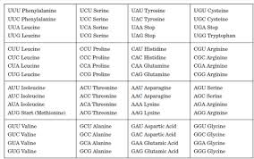 Anthropology Chart Solved The Following Chart Lists All Possible Mrna Codons