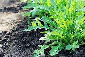 Arugula Companion Planting Chart Growing Arugula Bonnie Plants