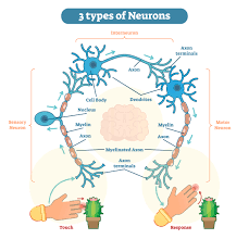 3 Types Of Neurons Plus Facts About The Nervous System
