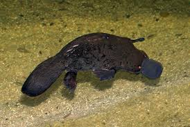 Platypus Facts Duck Billed Platypuses Monotremes