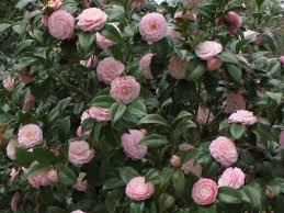 Camellia Sasanqua Wallpapers - Top Free ...