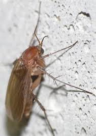 Nice Small Brown Flying Insect