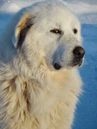 Growth Pyrenean Mountain Dog Puppy Weight Chart Pyrenean