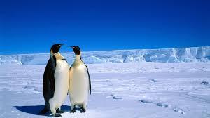 penguin love wallpaper. Unique Love Penguins Love HD Wallpaper Intended Penguin N