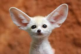 fennec fox. Beautiful Fox Fennec Fox For Fox