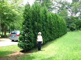 best tree for privacy hedge landscaping shrubs for privacy best privacy plants ideas on patio ideas