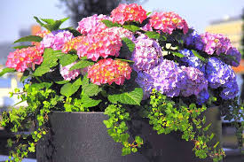 The box tree caterpillar is heading my way, as it is now common in london and the south of england, according to an rhs survey. How To Grow Hydrangeas In Containers Gardener S Path