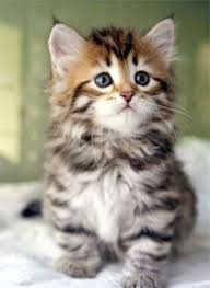 cute baby cats for sale. Modren Cute Excellent U003eu003e Kittens For Sale Near Me Intended Cute Baby Cats S