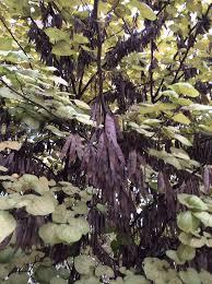 Lorena Couch | Ohio Plants