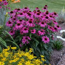 Image result for cone flower
