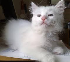 white local kittens for reservation