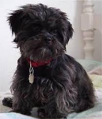 Image result for توله سگ سیاه پشمالو
