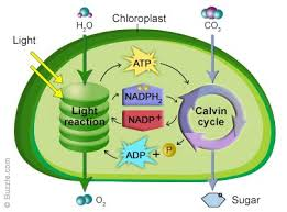 photosynthesis  marine plants and organic matter on pinteresta diagram of how photosynthesis works