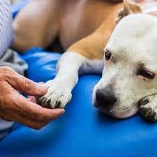 Dog health bleeding from anal gland