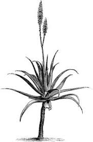 south african artist nic bladen tracks down endangered plants and House Plants For Sale aloe vera plant google search house plants for sale online