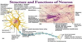 Structure And Functions Of Neuron Assignment Point