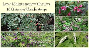 low maintenance shrubs 18 choices for