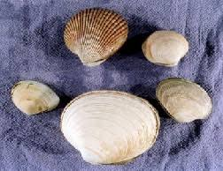 Clam Identification Chart Beach Assessment Clam Identification Key King County
