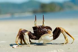 Crab Size Chart Nj Ghost Crab Wikipedia