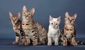 white bengal cat. Plain Cat To White Bengal Cat B