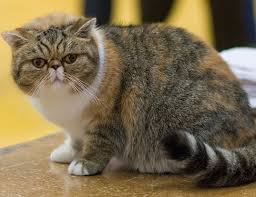 exotic shorthair. Modren Exotic EXOTIC SHORTHAIR With Exotic Shorthair I