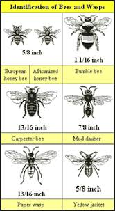 Wasp Identification Chart Bee And Wasp Identity Chart