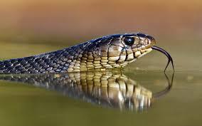 water cobra snakes tongue scales reptiles reflections royal cobra forked tongue 1920x1200 wallpap art hd wallpaper