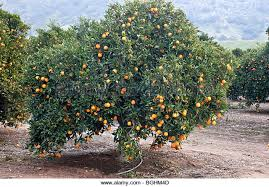 Fruit Bearing Tree Stock Photos U0026 Fruit Bearing Tree Stock Images Tree Bearing Fruit